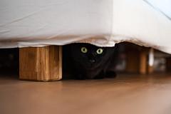 CATZ (Stefano Savarino) Tags: chat cat cats blackcat portrait animal