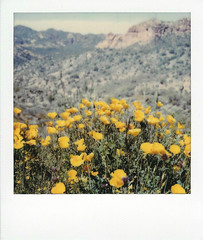 poppies along apache trail (EllenJo) Tags: instantfilm polaroidoriginals theimpossibleproject impossibleproject instant arizona az march 2019 ellenjo sx70 polaroid daytriptoapachetrail apachetrail sonorandesert apachejunction wildflowers