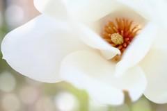 DSCF1444 (Keishi Etoh rough-and-ready photoglaph) Tags: flower fujifilm xh1 fujifilmxh1 apsc canonfdmacro50mmf35scc canon 75mm mf manualfocuslens primelens fixedfocallengthlens oldlens 単焦点 中望遠 中望遠マクロ