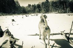 Jack on a frozen lake (Dad from Hell) Tags: canada canadarocks garypaakkonen huronnaturearea jack photography canine collar d300s dog doggo green ice lake landscape nikon pupper puppy snow winter kitchener ontario ca