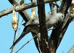 Inca Dove, Columbina inca (asterisktom) Tags: oaxaca 2019 mexico february bird vogel ave 鸟 птица 鳥 pajaro incadove columbinainca dove mexico2019janmarch