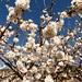 Cerezos en flor (5)