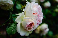 Rose bouquet (Jose Rahona) Tags: rosa rosas bouquet flores flowers jardin garden parque park