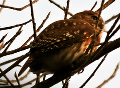 Ferruginous Pygmy Owl, Glaucidium brasilianum (asterisktom) Tags: bird vogel ave 鸟 птица 鳥 pajaro chiapas mexico oaxaca 2019 march ferruginouspygmyowl glaucidiumbrasilianum pygmyowl owl coastal puertoescondido mazunte mexico2019janmarch