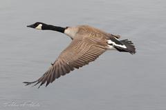 Canada Goose (aaabela) Tags: anatidae anseriformes aves branta brantacanadensis california canadagoose chordata pismobeach sanluisobispocounty bird canadensis