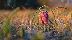 Schachblume 3 (Bikerwolferl) Tags: nature red season outdoors grass closeup ruralscene plant agriculture sunlight natur jahreszeit niemand imfreien nahaufnahme ländlichesmotiv pflanze wiese himmel wachstum frühling