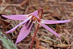 Erythronium dens-canis (ab.130722jvkz) Tags: botany 2019botany wildflowers liliaceae erythronium