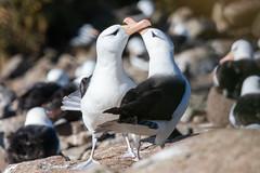 Black Browed Albatross (Linda Martin Photography) Tags: thalassarchemelanophrys westpoint southatlanticocean blackbrowedalbatross nature bird malvinas falklandislands wildlife westpointisland naturethroughthelens
