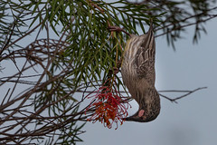 Red Wattlebird (RoosterMan64) Tags: australia australiannativebird bird nsw nature redwattlebird waterbird wildlife