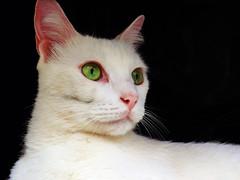Green eyed white cat (Rubens Portugal) Tags: gato cat chat pet branco white blanche olho ojo bigode bigote moustache blackandwhite noiretblanche blancoynegro