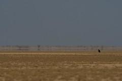 Banni Grasslands (iamfisheye) Tags: february 300mm vr bannigrasslands nikon f4 naturetrek india d500 xqd afs tc14iii pf greatrannofkutch 2019 raremammalsandbirdsofgujarat gujarat