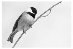 Mésange à tête noire (Nolwenn Trvdc) Tags: bird nature wild blackandwhite montréal canada poecile atricapillus