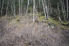 (i threw a guitar at him.) Tags: alaska 2019 trees uphill mountain side nature landscape scenic witch woods forest mysterious lost winter bush birch moss outdoors hike hiking