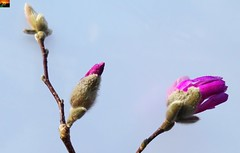 """Rosa Stern-Magnolie - Magnolia stellata Rosea (5von 13er-Serie) (warata) Tags: 2019 deutschland germany süddeutschland southerngermany schwaben swabia oberschwaben """"upper swabiaschwäbisches oberland badenwürttemberg fruhling spring blume blüte pflanze natur """"magnolia stellata rosea"""" sternmagnolie magnolie nature outside landscape garden"""
