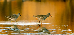 Lesser Yellowlegs & Redshank (wryneck94) Tags: birdwatching lodmoor dorset