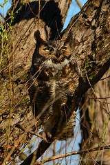 Great-Horned_Owl_02 (DonBantumPhotography.com) Tags: wildlife nature animals birds nightstalker owl greathornedowl donbantumcom donbantumphotographycom raptor birdsofprey predator