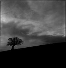 one tree hill (steve-jack) Tags: hasselblad 501cm 50mm cfi kodak trix 400 film 120 6x6 medium format tree ilford perceptol epson v500