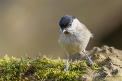 Marsh Tit (Poecile palustris) (PhasmatosOculus) Tags: march 2019 march2019 bird birds rivernene barnwellcountrypark barnwellpark barnwell country park northamptonshire wildlifeanimal wildlife animal animals wildlifeanimals matthewfarrugia matthew farrugia centricmalteser canon6dmkii canon 6d mkii eos6dmkii canoneos6dmkii eos canoneos eastanglia 6dmkii phasmatosoculus