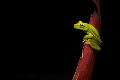 Polka-Dot Tree Frog Against Red And Black (worm600) Tags: animal frog ecuador treefrog sumaco polkadottreefrog
