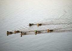 Follow me (yvonnepay615) Tags: panasonic lumix gh4 nature ducks wwt welneywetlandtrust norfolk eastanglia uk coth
