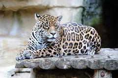 Zoo de la Palmyre (claude 22) Tags: zoo animal animaux sauvages wild france léopard lapalmyre