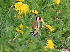 Green and Gold (Wildlife Terry) Tags: florafauna wildlifeandnature amateur photography colors colours nature goldfinch feeding dandelion seed head