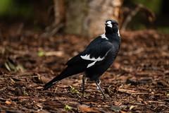 Australian Magpie (Ran 2018) Tags: animals australia nature birds