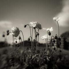 (Masahiko Kuroki) Tags: bnw monochrome noiretblanc square flower xt2 lensbaby sol45