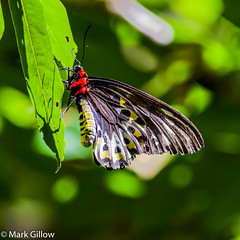 Richmond Birdwing Butterfly (Mark Gillow) Tags: insect butterfly richmond birdwing australia