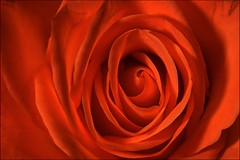 Rose (David Gilson) Tags: rose flower nature petals flora floral closeup macro nikon nikkor