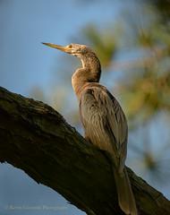 Anhinga (Kevin James54) Tags: anhingaanhinga nikond850 tamron150600mm wilmington anhinga animals avian bird kevingianniniphotocom