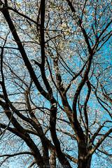 Branches (Nicola Pezzoli) Tags: val gandino seriana bergamo italia italy nature spring leffe ceride san rocco branches tree ciliegio albero blue sky flowers