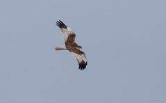 Marsh Harrier male -9958 (Theo Locher) Tags: birds bruinekiekendief busarddesroseaux circusaeruginosus marshharrier oiseaux rohrweihe vogels vögel nederland netherlands copyrighttheolocher