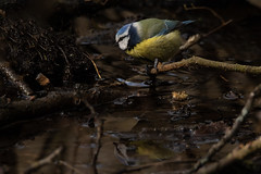 Eyeworth- (Parapan) Tags: birds canon nature newforest sigma