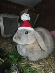 Posing! (eveliensbunnypics) Tags: bunny rabbit lop lopeared polly christmas hat christmashat crochet crocheted hutch cottage winter posing