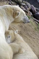 Nanook & Mutter Lara (Michael Döring - thx for 20.000.000 views) Tags: gelsenkirchen bismarck zoomerlebniswelt zoo eisbär polarbear nanooklara afs70200mm28g d800 michaeldöring