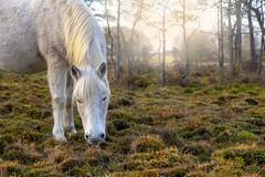 New Forest Pony (Jacky Parker Photography) Tags: newforestnationalpark newforest newforestpony pony horse sunshine sunlight grey livestock frontfacing newforestcommoners grazing animal mammal mare horizontalformat beautyinnature uk nationalpark tranquilscene ruralscene nikond750