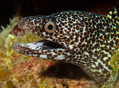 spotted moray (fins'n'feathers) Tags: eel moray fish spottedmoray teeth underwater marinelife atlanticocean turksandcaicos providenciales scubadiving