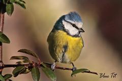 BLUE TIT // PARUS CAERULEUS  (11cm (tom webzell) Tags: naturethroughthelens