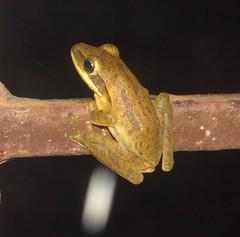 ecosystem/fauna /Indian Tree Frog(Polypedates maculatus) (biodiversity western ghats(before it is gone)) Tags: amphibian frog chunam tree anura whipping rhacophoridae rhacophorinae diversityindia amphibianindia taxonomy:binomial=polypedates maculatus