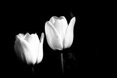 Tulipe IMG_1565BW (Paul_Paradis) Tags: blossom fleur flora floral flower summer ete garden jardin plant plante nature natutal tulipe macro monochrome bw canada quebec iledorleans