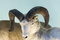 Dall Sheep - Natural History Museum London (nickstone333) Tags: naturalhistorymuseum london museum sheep dallsheep taxidermy atxm100afprod tokinaaf100mmf28macro nikon nikond7100 d7100