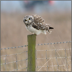 Short-eared Owl (image 1 of 2) (Full Moon Images) Tags: wildlife nature reserve cambridgeshire wicken fen burwell nt national trust bird birdofprey shorteared owl