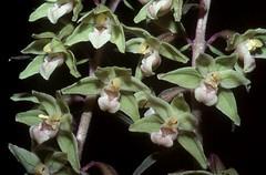 rfl00652F (m-klueber.de) Tags: rfl00652f flora rhönflora pflanzen mitteleuropa mitteleuropäisch blütenfarbe 19960820 purpurata orchidaceae stendelwurz violette grünblütige grün sitter orchidee orchideen pflanze rfl00652 sumpfwurz viridiflora violetter grünblütiger epipactis epipurp rhön deutschland 1996 mkbildkatalog europäisch europäische pflanzenwelt