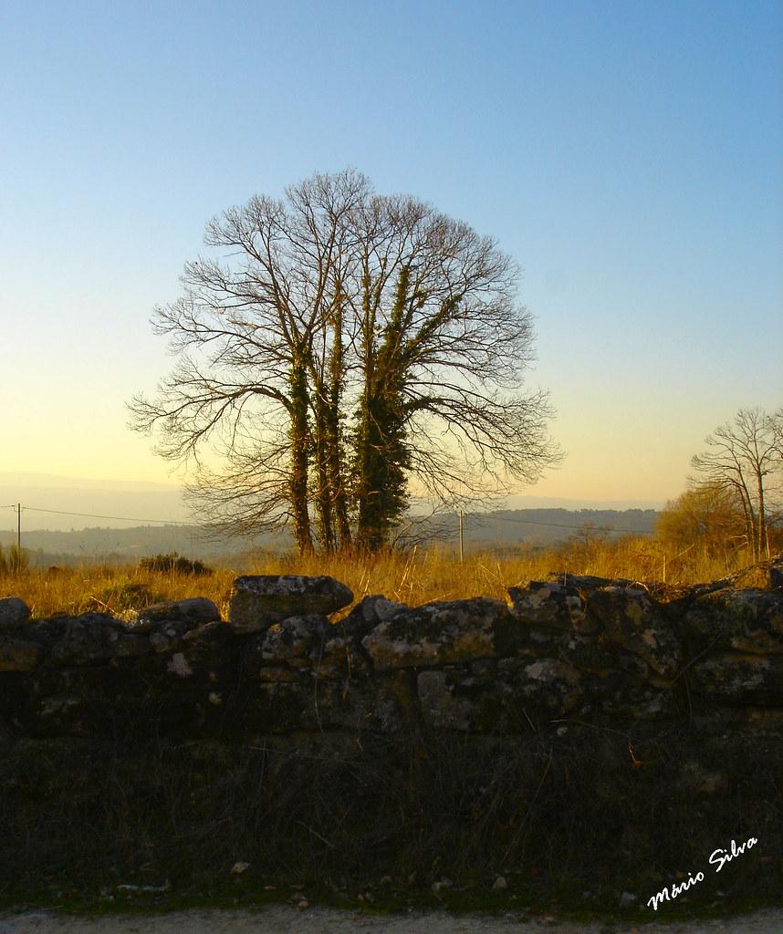 Águas Frias (Chaves) - ... a árvore ao fim de tarde ...