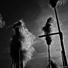 Il sème à tout vent (Un jour en France) Tags: roseau carré vent ciel cielpaysage noiretblanc noiretblancfrance canoneos6dmarkii canonef1635mmf28liiusm