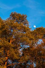 Abendrot-27092-20190216.jpg (CitizenOfSeoul) Tags: kiefer canon80d deutschland sonnenuntergang 13farben outdoor nadelbaum lunar canon70200f28lii mond badenwürttemberg rot blau abendrot erdtrabant natur sersheim baum