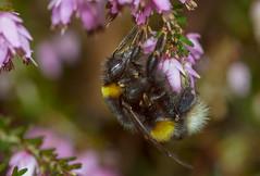 Hummel : sie fliegen wieder ... (Konrads Bilderwerkstatt) Tags: tier insekt hummel biene heide kraut sony alpha