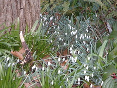 Signs of Spring ... (Irene, W. Van. BC) Tags: signsofspring spring springflowers springblossoms springblooms springpetals springscenes wonderfulnature allflowers allnature awesomenature beautifulnature blooms blossoms beautifulflowers outdoors outdoorscenes gardens gardenscenes gardenflowers park parkscenes snowdrops 1001nights 1001 nights m 1001nightsmagiccity 1001nightsmagicgardens