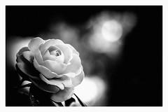 In the rain (Takahiro Hiroki) Tags: japan flower monochrome blackandwhite bnw rain
